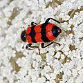 Le Clairon des abeilles (Trichodes apiarius)