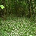 sous bois tapissé de petites fleurs blanches