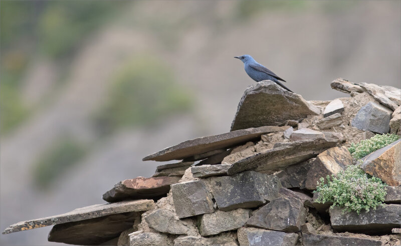 Aragon Escalona oiseau monticole bleu 020518 3