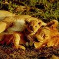 LIONS7