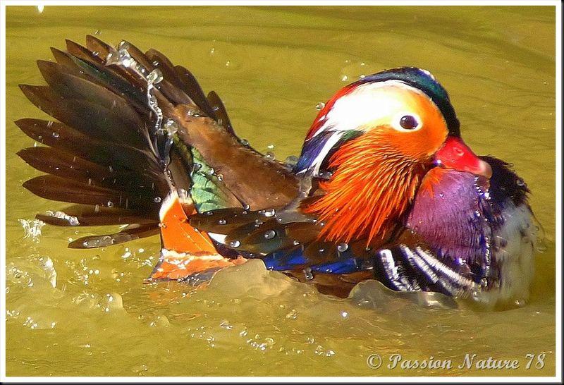 Le canard mandarin (13)