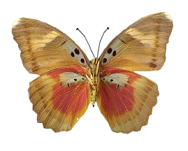pfl_papillon_jaune_orange_p
