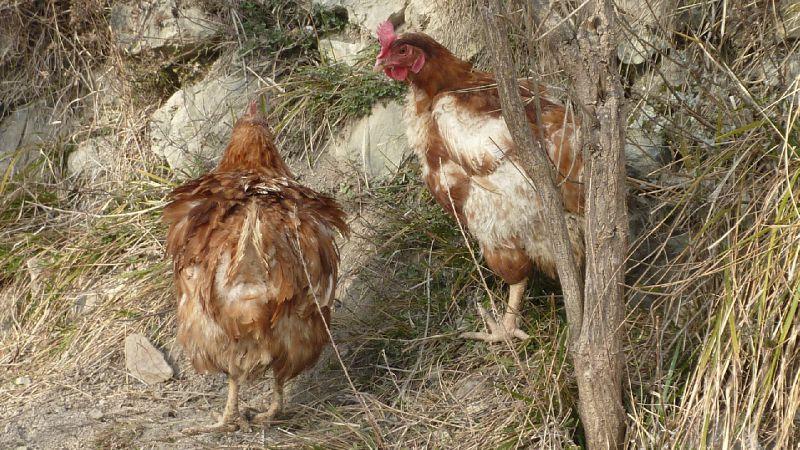 poules février 2012 018