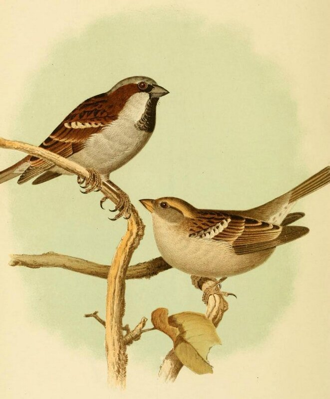 An illustration of a male and a female House Sparrow