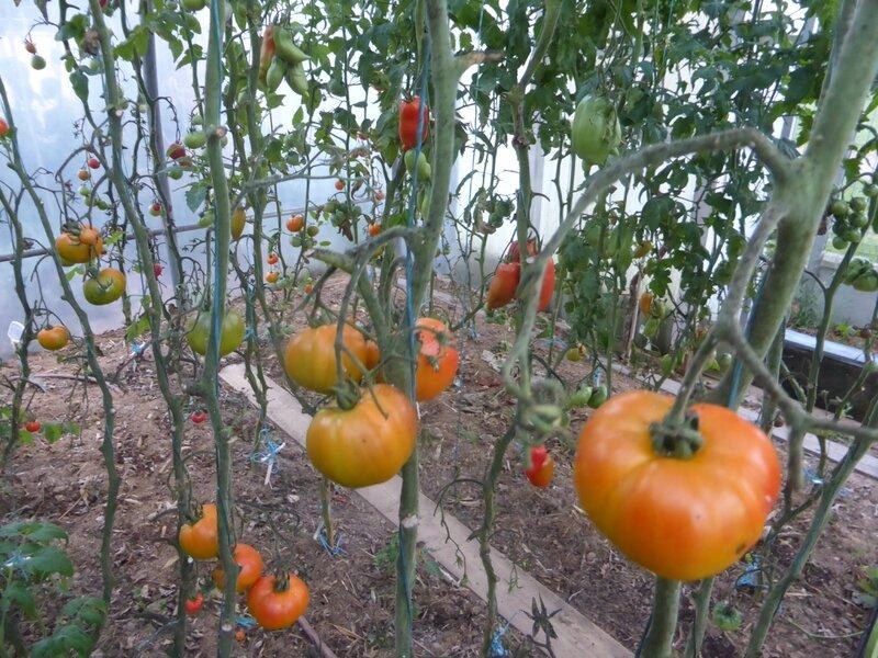 16-serre-tomates (4)