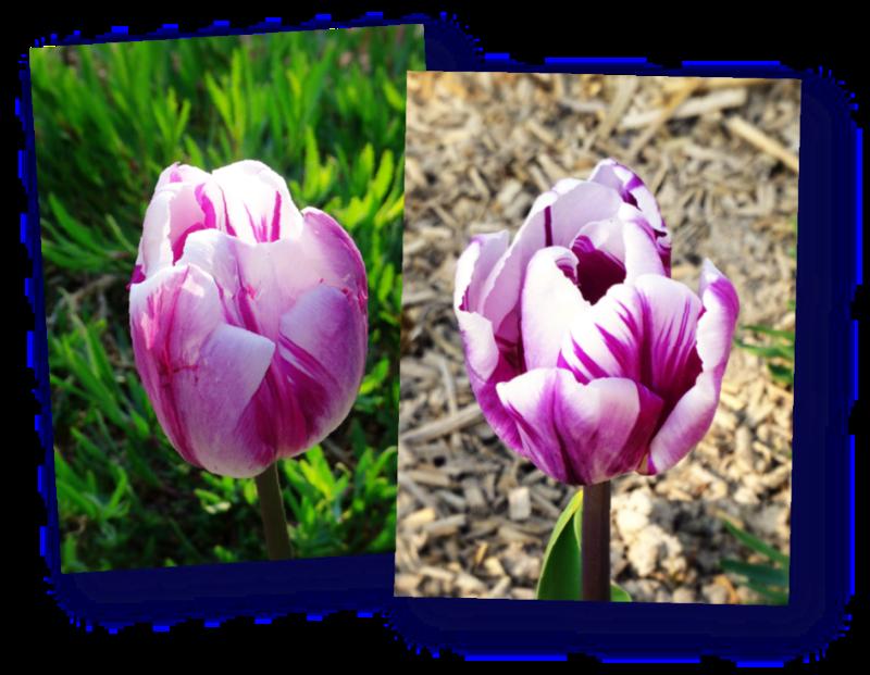 tulipes du massif cote sud