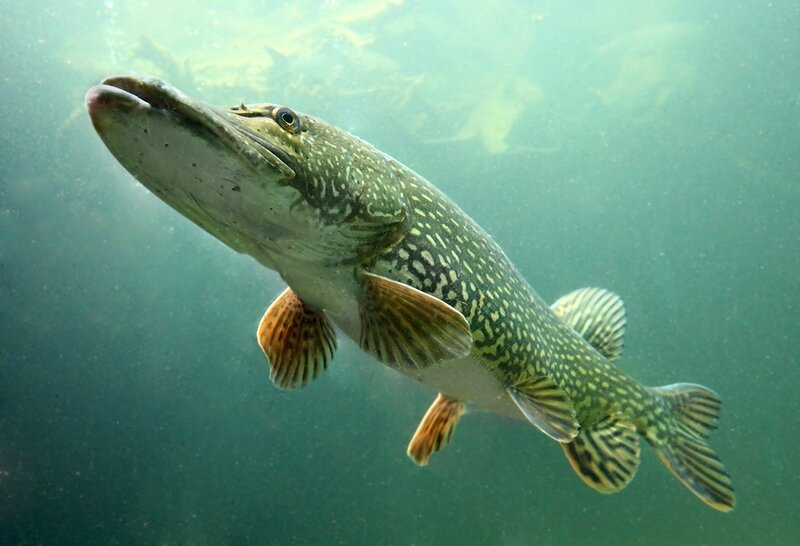 bigstock-underwater-photo-big-pike-eso-32739506