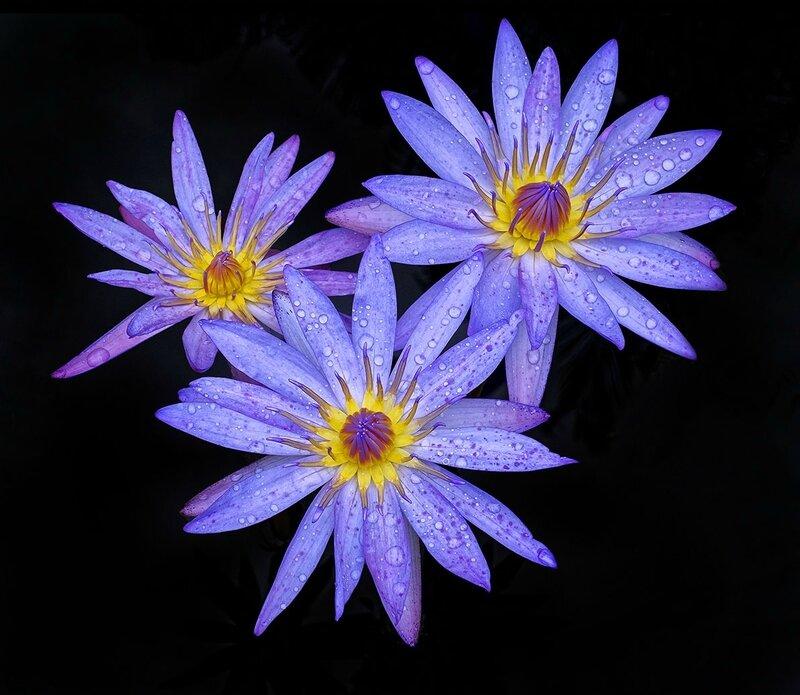 Trois lotus