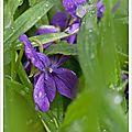 Pluie de violettes