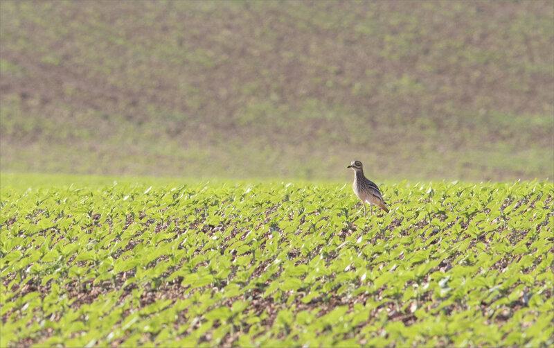 Plaine matin 200520 18 ym oiseau oedicnème