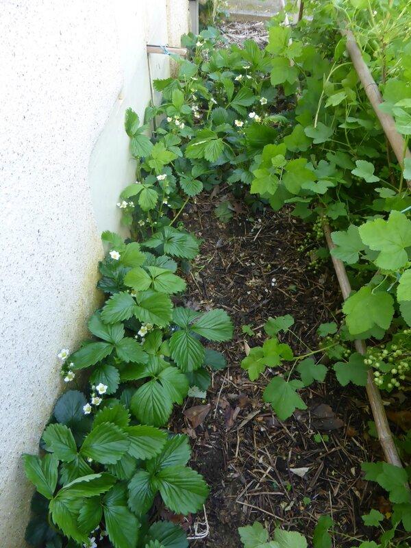 5-fraisiers (8)