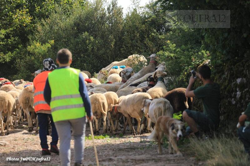 Photos JMP©Koufra 12 - Le Caylar - Transhumance - 29082019 - 0427