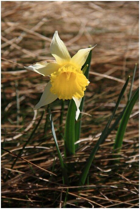 sarrat-pelade_012 fleur narcisse bulbocoduim (Copier)