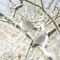 tourterelles-hiver15-01