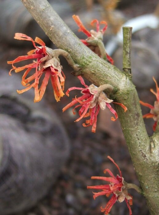 Hamamelis x intermedia 'Fire Blaze'