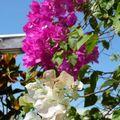 Fleurs, Suzini