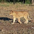 Lionnes et lionceau en liberté