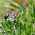 Sphinx bourdon - Hemaris tityus (5)
