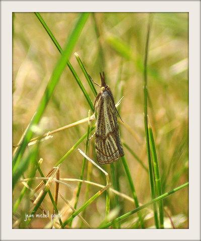 Chrysocrambus craterellus ( Crambus rayé)