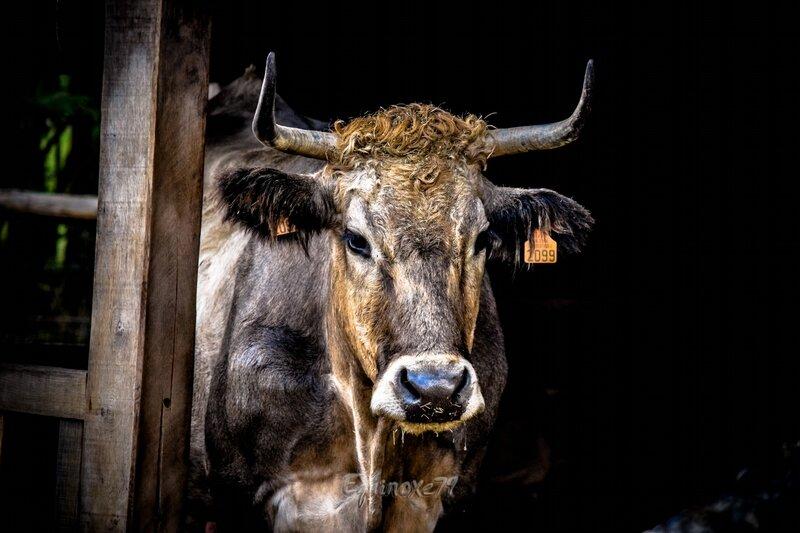 race bovine marais poitevin choletaise ou parthenaise