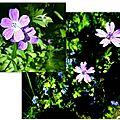 geranium des prés