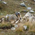 10 - Marmotte
