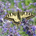 le papillon Machaon