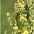 Grande sauterelle verte.....