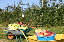 cueillette pomme