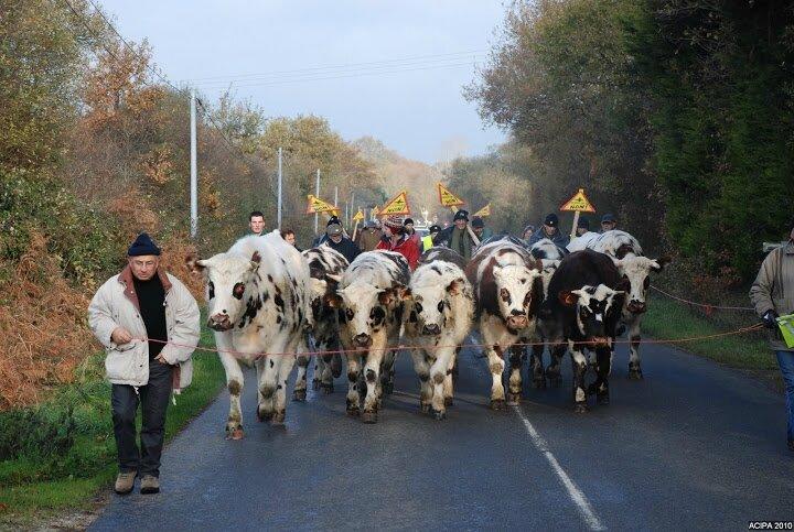 vaches en marche à nddl