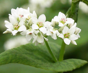 fleurs_de_sarrasin