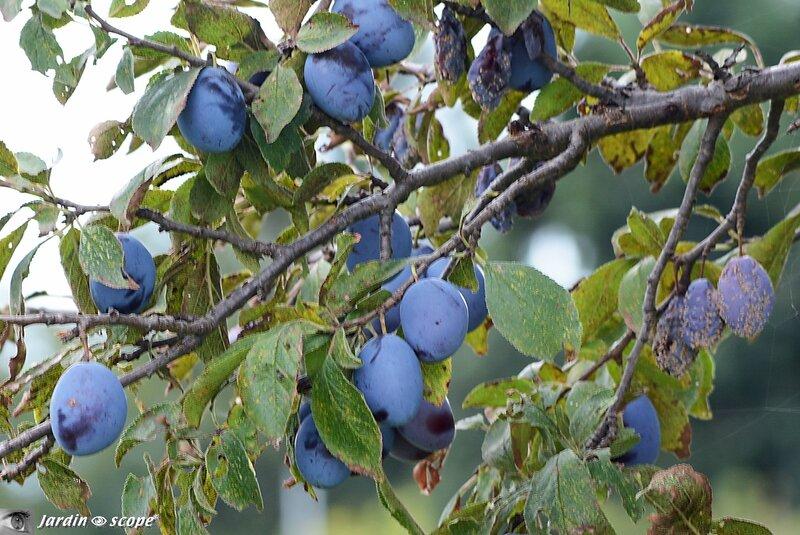 Prunier • Prunus domestica Quetsche d'Alsace