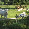 vaches septembre 2010