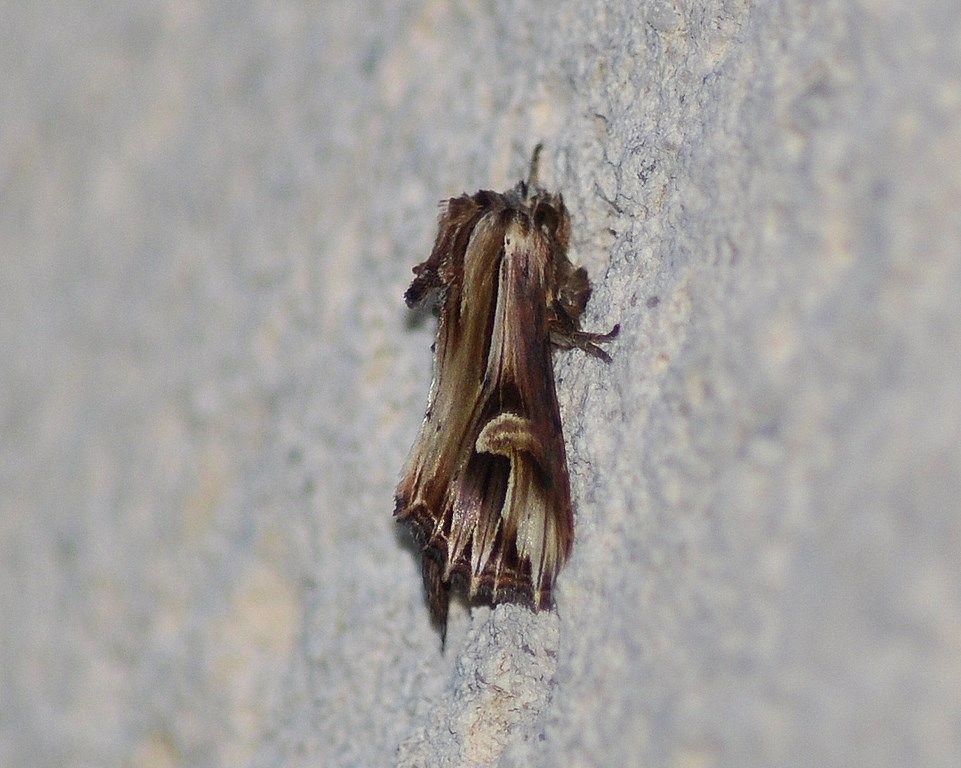 Actinotia polyodon, la camomilière