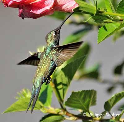 colibri_angele_pw9a