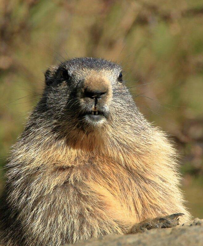 la marmotte de Patrick Boudier