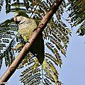 Perruche Conure veuve • Myiopsitta monachus • Famille des Psittacidae