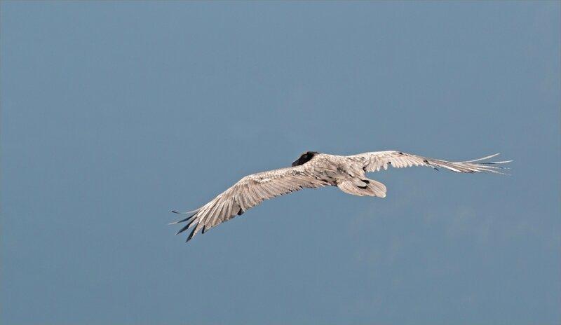 Haut Aragon juin 2017 J2 Castillo 19 oiseau gypa jeune regard