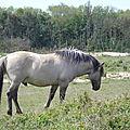 chevaux des polders 3