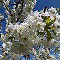 ♥ cerisier en fleurs ♥