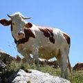 Vacances : et des vaches