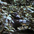 gorille 23