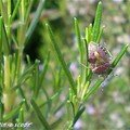 Punaise des baies • Dolycoris baccarum
