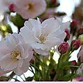 Le cerisier fleur