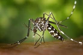 moustique tigre wwikipédia
