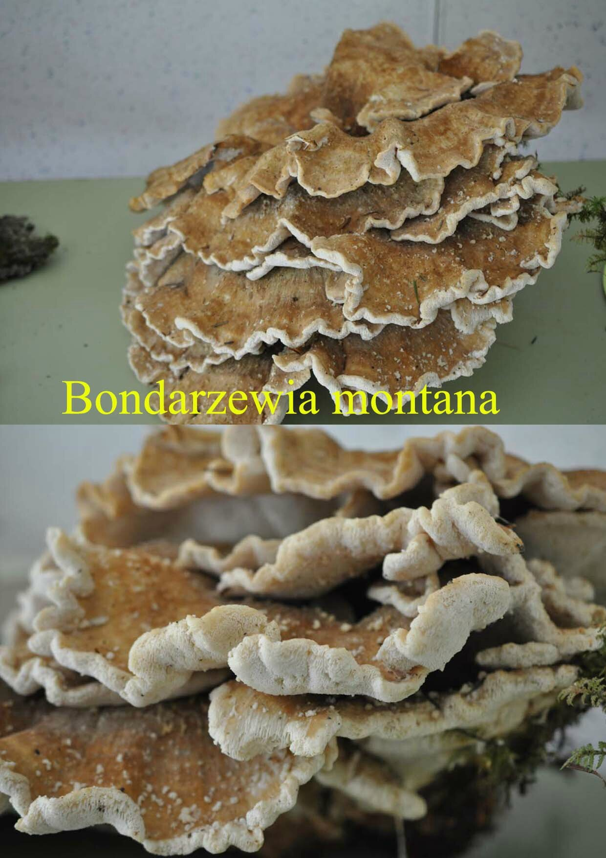 Bondarzewia montana