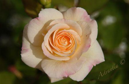 rosier_pastel