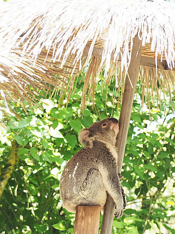 zoo-beauval-animaux-koala-36