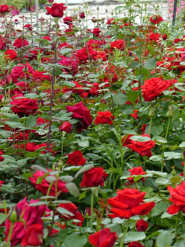 Meilland-roses rouges