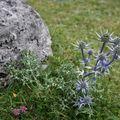 Fleur Pyrénées